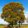 Autumn tree — Stockfoto #7699592