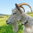 Goat on the meadow — Stock Photo #7739563