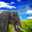 Elephant — Stock Photo #7858976