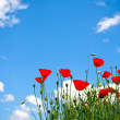 Red poppies — Stock Photo #7955158
