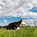 Cow animal series — Stock Photo #6951724