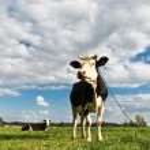 Cow animal series — Stock Photo #6951726