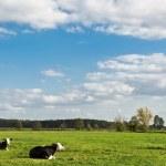 Cow animal series — Stock Photo #6993552