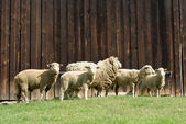 羊 — ストック写真