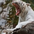 Stock Photo: Roaring white tiger