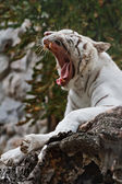 Roaring white tiger — Stock Photo