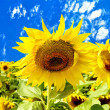 Sunflowers on a background of blue sky and white clouds — Stock Photo #7174164