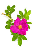 Flower briar — Stock Photo
