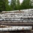 Timber pile background  of forest - Stock Photo