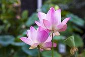 Flor de loto en el estanque — Foto de Stock