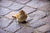 Sparrow in het lugano-park — Stockfoto
