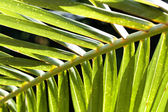 Leaf of Palm. — Stock Photo