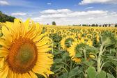 Suns of Poland. — Stock Photo