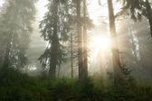 Coniferous wood — Stock Photo