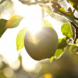 Fruit apples in the light of the sun - Stock Photo