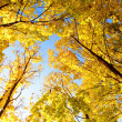 Upward view of fall trees — Stock Photo #7413132