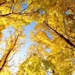 Upward view of fall trees — Stock Photo #7413132
