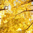 Upward view of fall trees — Stock Photo