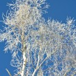 The silver birch is covered by snow in the winter — Stock Photo