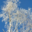 The silver birch is covered by snow in the winter - Stock Photo