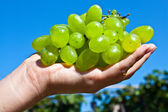 Branch of green grapes on a palm of the girl — Stock Photo