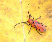 Red Milkweed Beetle — Stock Photo