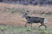 Young Whitetail Deer Buck — Stock Photo