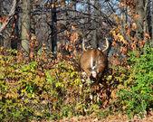 Rutting Whitetail Deer Buck Running — Stock Photo