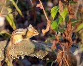 Chipmunk — Fotografia Stock