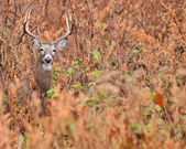 Whitetail Deer Buck — 图库照片