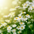 Stock Photo: Chamomile flower in grass