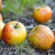 Appleson grass under the apple tree — Stock Photo