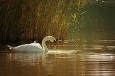 Cygne sur un lac — Photo