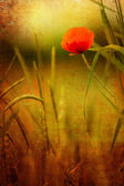 Red poppy in a barley field — Stock Photo