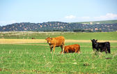 Cows in Green field — Stock Photo