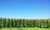 Green Corn field at Portugal — Stock Photo