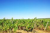 Vineyard in the region of the Alentejo, Portugal. — Stock Photo
