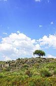 Arbre solitaire dans les roches au portugal — Photo