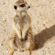 Portrait of Meerkat — Stock Photo #7386760