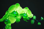 Green orchid with buds — Stock Photo
