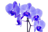 Beautiful blue orchid — Stock Photo