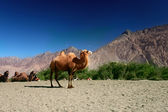Camels on the Nubra Valley — Stock Photo