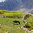 Постер, плакат: With donkey on an meadow Himalayas