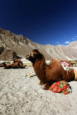 Camels on the Desert — Stock Photo