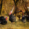 Stock Photo: Gobbler's harem