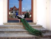 Peacock and reflection of the old town — Stock Photo