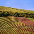 Vineyards in autumn — Stock Photo