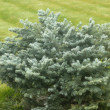Little blue spruce — Stock Photo