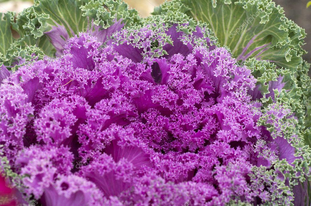 Dekorative Gartenpflanzen — Stockfoto © Aviavlad3 #7027236