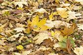 Фон опавшие кленовые листья — Стоковое фото